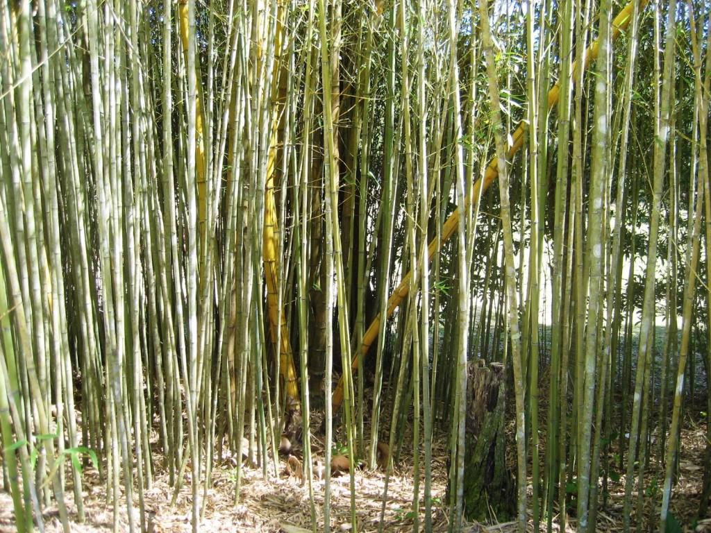 bamboo forest, bamboo maintenance