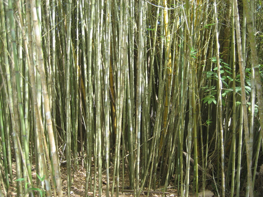 bamboo forest, bamboo maintenance